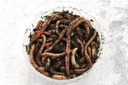 100G Dendrobena Worms